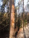 odřený strom